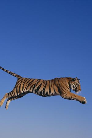 https://imgc.artprintimages.com/img/print/bengal-tiger-jumping_u-l-pzr88n0.jpg?p=0