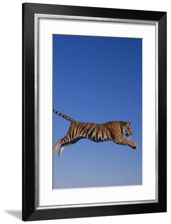 Bengal Tiger Jumping-DLILLC-Framed Photographic Print