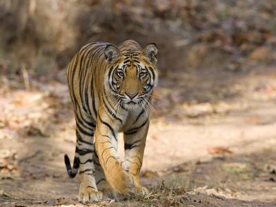 Bengal Tiger (Panthera Tigris Tigris), Bandhavgarh, Madhya Pradesh, India-Thorsten Milse-Photographic Print