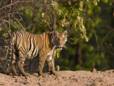 https://imgc.artprintimages.com/img/print/bengal-tiger-panthera-tigris-tigris-bandhavgarh-madhya-pradesh-india_u-l-p2qlaw0.jpg?p=0