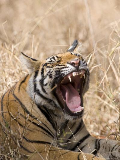 Bengal Tiger, (Panthera Tigris Tigris), Bandhavgarh, Madhya Pradesh, India-Thorsten Milse-Photographic Print