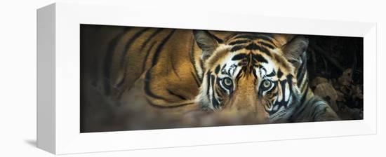 Bengal Tiger (Panthera Tigris Tigris), India-null-Framed Stretched Canvas