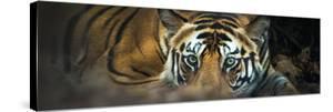 Bengal Tiger (Panthera Tigris Tigris), India