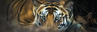 https://imgc.artprintimages.com/img/print/bengal-tiger-panthera-tigris-tigris-india_u-l-pweqfx0.jpg?p=0