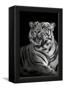 Bengal Tiger (Panthera Tigris Tigris), Kanha National Park, Madhya Pradesh, India