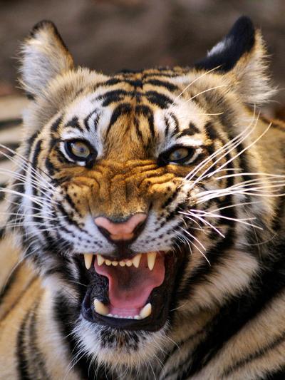 Bengal Tiger (Panthera Tigris)-Louise Murray-Photographic Print