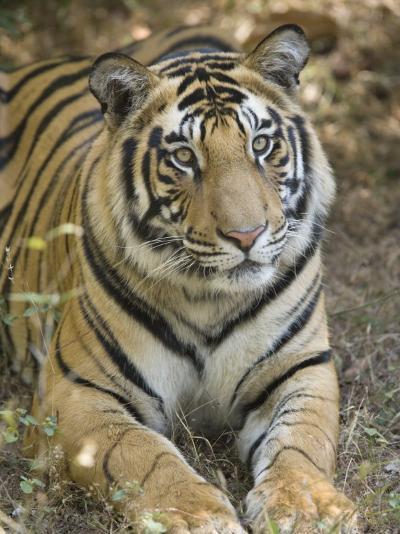 Bengal Tiger, Portrait of Male Tiger, Madhya Pradesh, India-Elliot Neep-Photographic Print