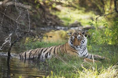 https://imgc.artprintimages.com/img/print/bengal-tiger-ranthambhore-national-park-rajasthan-india-asia_u-l-q12qm260.jpg?artPerspective=n