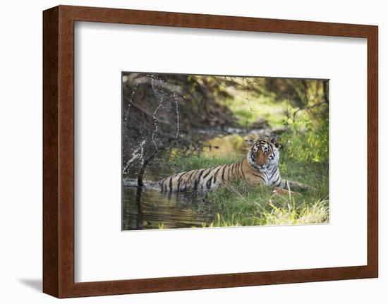 Bengal Tiger, Ranthambhore National Park, Rajasthan, India, Asia-Janette Hill-Framed Photographic Print