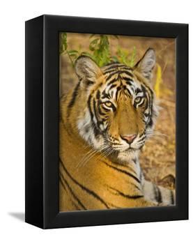 Bengal Tiger Resting Portrait, Ranthambhore Np, Rajasthan, India-T.j. Rich-Framed Premier Image Canvas