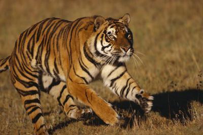 https://imgc.artprintimages.com/img/print/bengal-tiger-running-in-field_u-l-pzrbg50.jpg?p=0