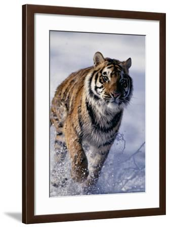 Bengal Tiger Running in Surf-DLILLC-Framed Photographic Print