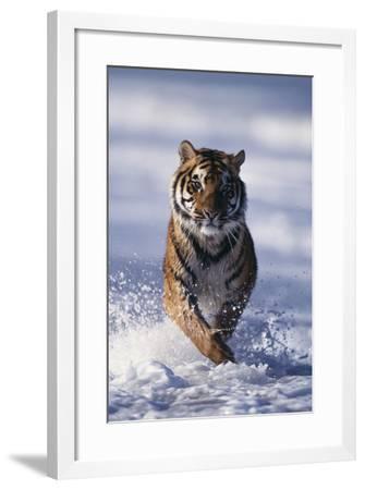 Bengal Tiger Running in Surf-DLILLC-Framed Photographic Print