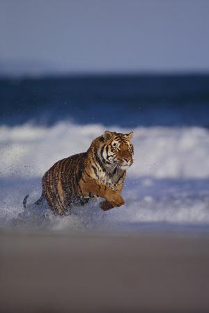 https://imgc.artprintimages.com/img/print/bengal-tiger-running-on-beach_u-l-pzr33p0.jpg?p=0