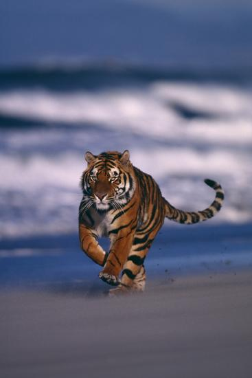 Bengal Tiger Running on Beach-DLILLC-Photographic Print