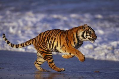 https://imgc.artprintimages.com/img/print/bengal-tiger-running-on-beach_u-l-pzr9960.jpg?p=0