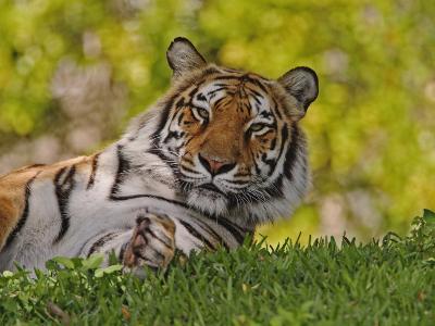 Bengal Tiger Sitting, Panthera Tigris, Asia-Adam Jones-Photographic Print
