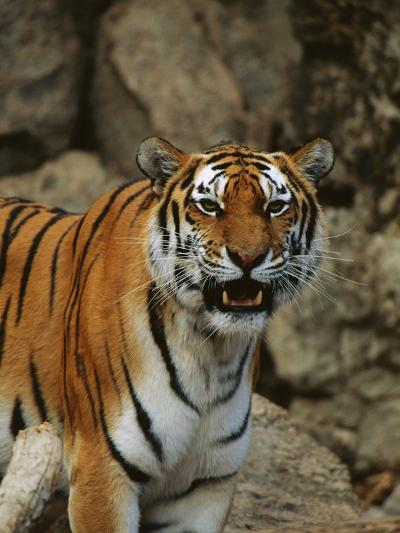 Bengal Tiger Snarling-Chase Swift-Photographic Print