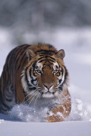 https://imgc.artprintimages.com/img/print/bengal-tiger-walking-in-snow_u-l-pzr4lx0.jpg?p=0