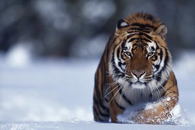 Bengal Tiger Walking in Snow-DLILLC-Photographic Print