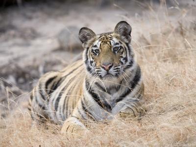 Bengal Tiger, Young Female Lying in Soft Grass, Madhya Pradesh, India-Elliot Neep-Photographic Print