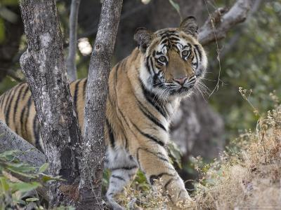 Bengal Tiger, Young Male Approaching from Around a Small Tree, Madhya Pradesh, India-Elliot Neep-Photographic Print