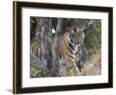 Bengal Tiger, Young Male Approaching from Around a Small Tree, Madhya Pradesh, India-Elliot Neep-Framed Photographic Print