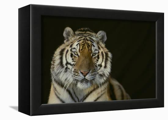 Bengal Tiger-DLILLC-Framed Premier Image Canvas