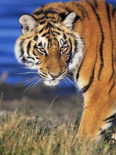 Bengal Tiger-W^ Perry Conway-Photographic Print