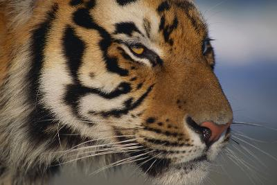 Bengal Tiger-DLILLC-Photographic Print