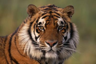 https://imgc.artprintimages.com/img/print/bengal-tiger_u-l-pzr5cq0.jpg?p=0