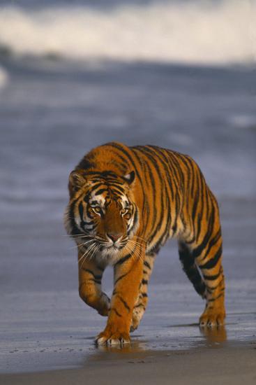 Bengal Tiger-DLILLC-Photographic Print