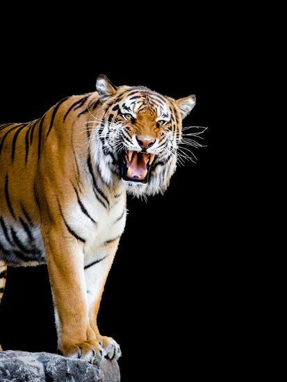 Bengal Tiger-Lipik-Photographic Print