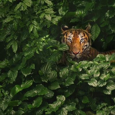 Bengal Tiger-by toonman-Photographic Print