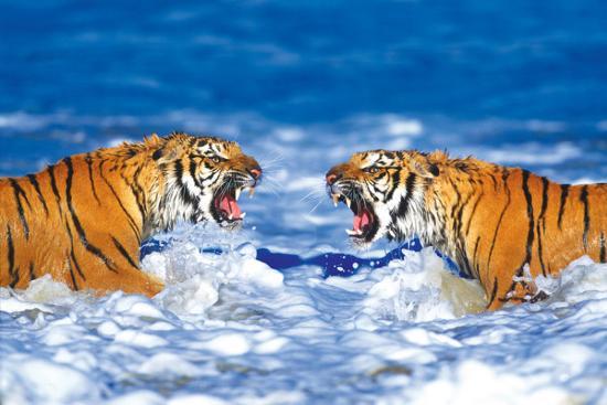 bengal-tigers-roaring