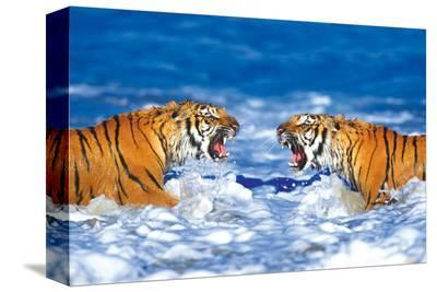 Bengal Tigers Roaring--Stretched Canvas Print