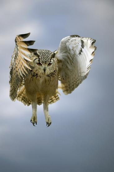 Bengalese Eagle Owl In Flight-Linda Wright-Photographic Print