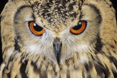 Bengalese Eagle Owl-David Aubrey-Photographic Print