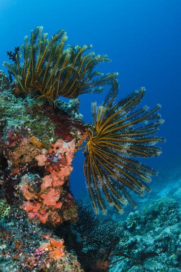 Bennett's Feather Star (Oxycomanthus Bennetti), Rainbow Reef, Fiji-Pete Oxford-Photographic Print