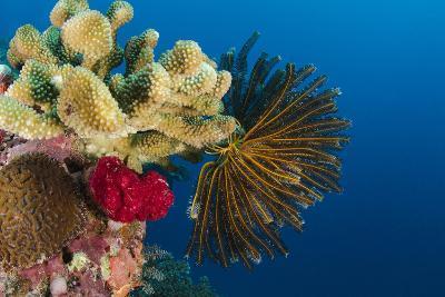 Bennett's Feather Star (Oxycomanthus Bennetti), Rainbow Reef, Fiji-Pete Oxford-Photographic Print