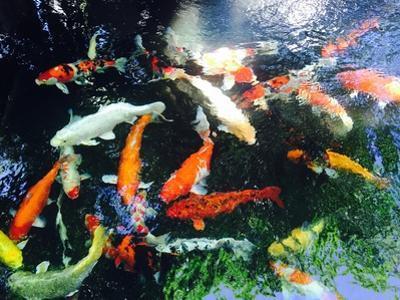 Koi Fish by bennnn