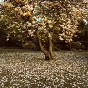 Magnolia by Bent Rej