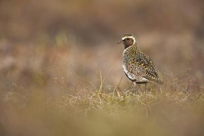 Golden Plover (Pluvialis Apricaria) Myvatn, Thingeyjarsyslur, Iceland, June 2009 by Bergmann