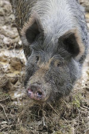 Berkshire Pig in Mud (Head Shot)--Photographic Print