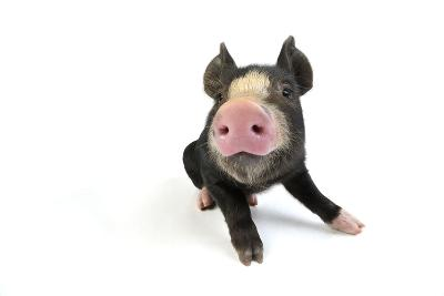 Berkshire Piglet Sitting Down--Photographic Print