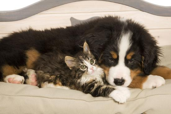Bermese Mountain Dog Puppy with Kitten on Dog Bed--Photographic Print