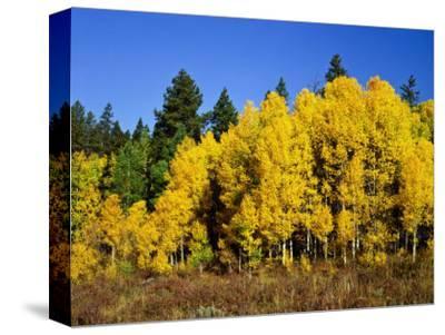 Aspens in Fall, Rocky Mountain National Park, Colorado, USA