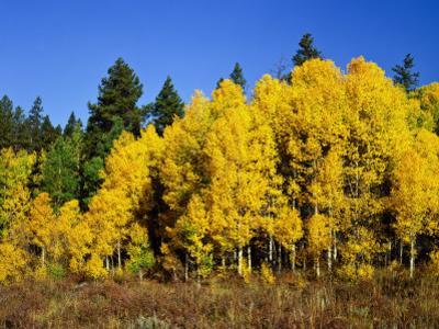 Aspens in Fall, Rocky Mountain National Park, Colorado, USA by Bernard Friel