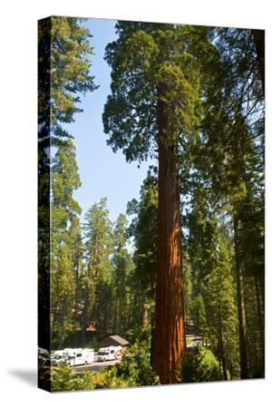 California, Sequoia, Kings Canyon National Park, Grant Grove, Giant Sequoia Trees
