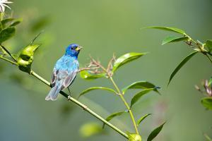 Florida, Immokalee, Indigo Bunting Perched in Jasmine Bush by Bernard Friel